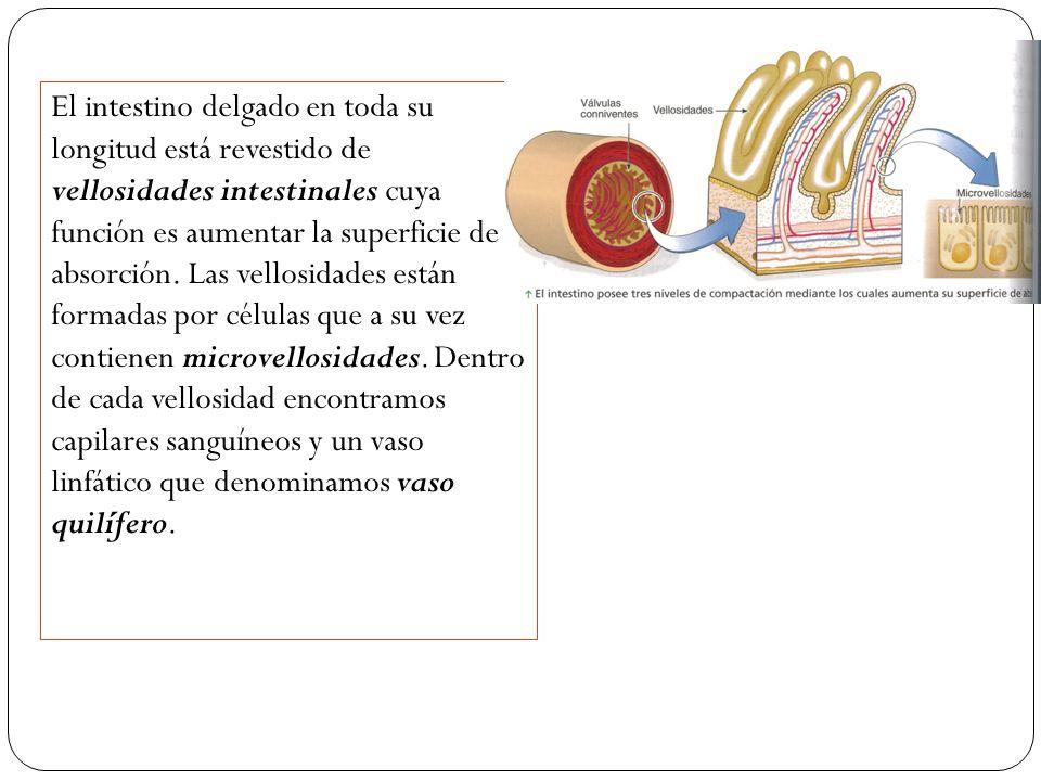 El intestino delgado en toda su longitud está revestido de vellosidades intestinales cuya función es aumentar la superficie de absorción.