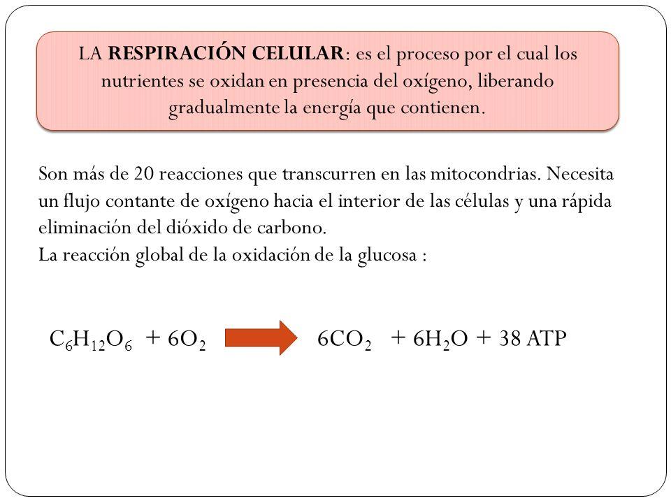 LA RESPIRACIÓN CELULAR: es el proceso por el cual los nutrientes se oxidan en presencia del oxígeno, liberando gradualmente la energía que contienen.