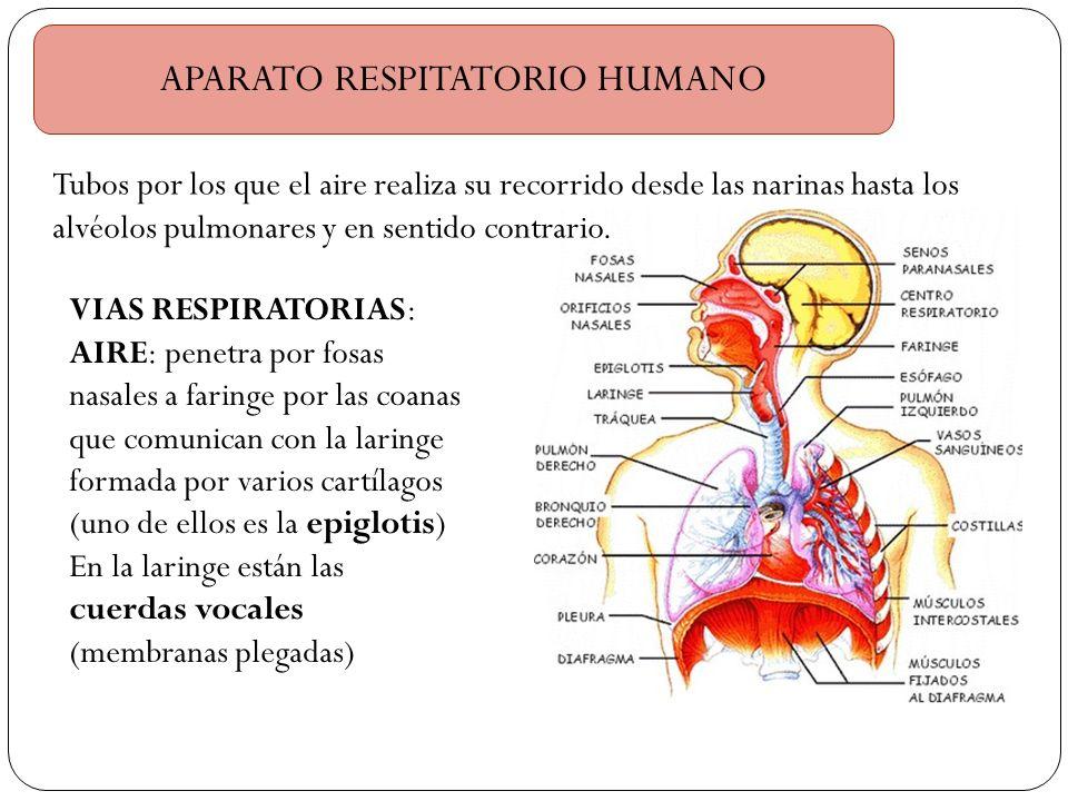 APARATO RESPITATORIO HUMANO