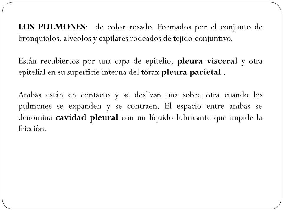 LOS PULMONES: de color rosado