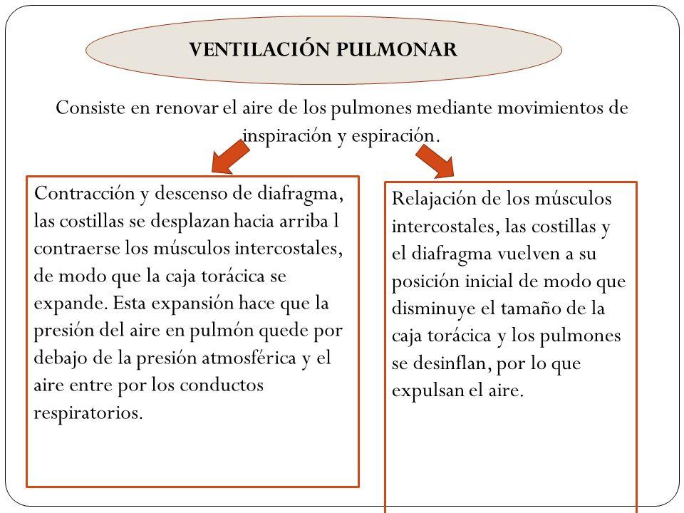VENTILACIÓN PULMONAR Consiste en renovar el aire de los pulmones mediante movimientos de inspiración y espiración.