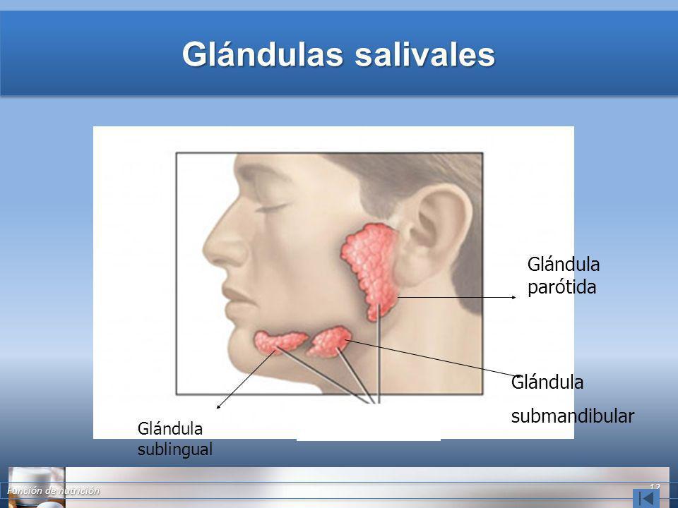 Glándulas salivales Glándula parótida Glándula submandibular