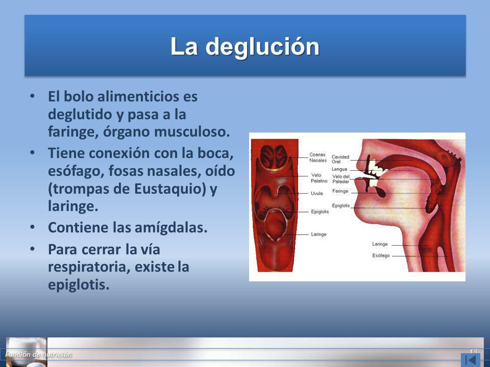 La deglución El bolo alimenticios es deglutido y pasa a la faringe, órgano musculoso.