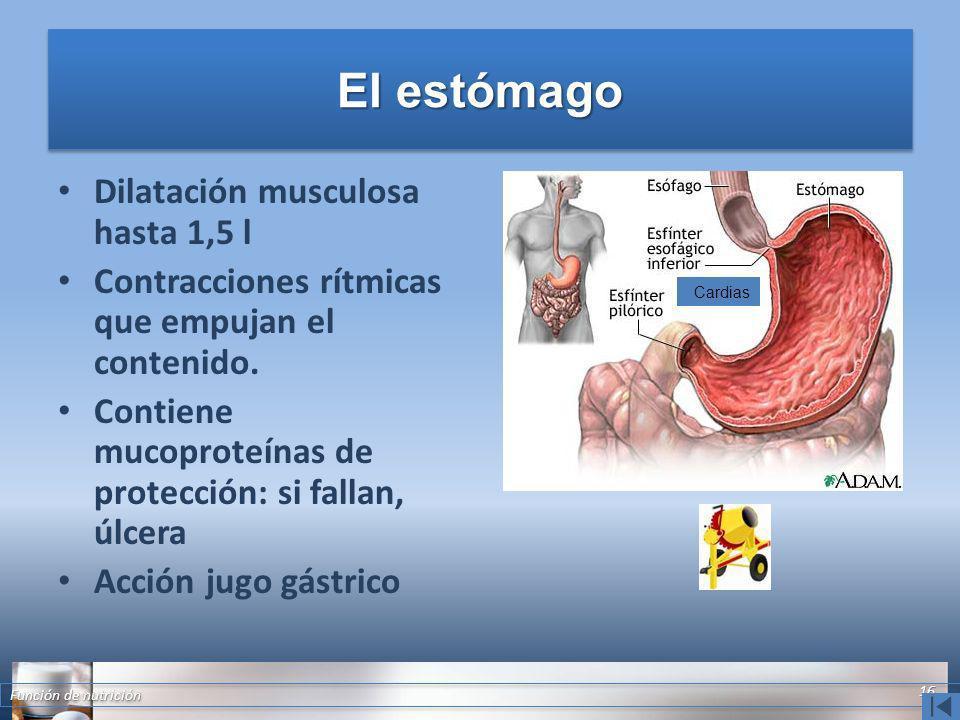 El estómago Dilatación musculosa hasta 1,5 l