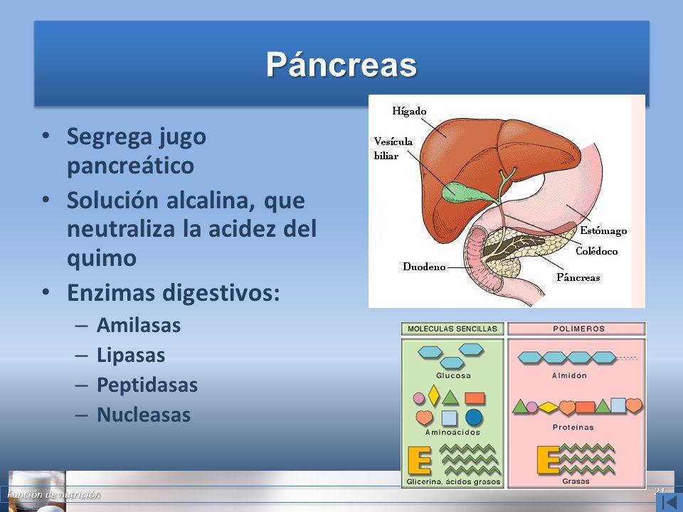 Páncreas Segrega jugo pancreático