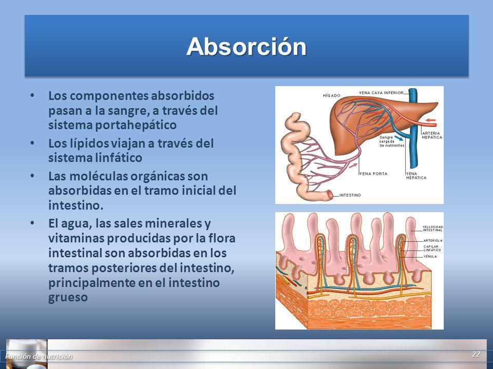 Absorción Los componentes absorbidos pasan a la sangre, a través del sistema portahepático. Los lípidos viajan a través del sistema linfático.