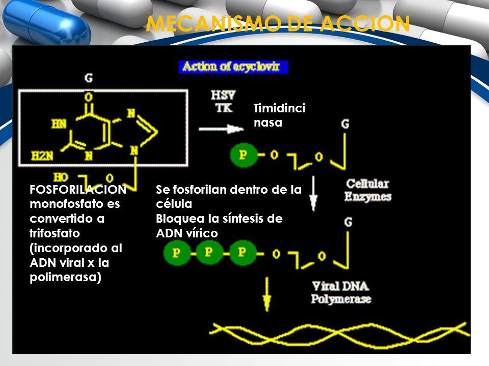 MECANISMO DE ACCION Timidincinasa FOSFORILACION