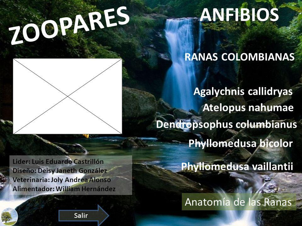 ZOOPARES ANFIBIOS RANAS COLOMBIANAS Agalychnis callidryas