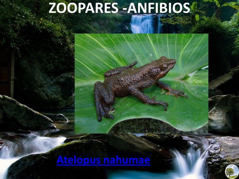 ZOOPARES -ANFIBIOS Atelopus nahumae