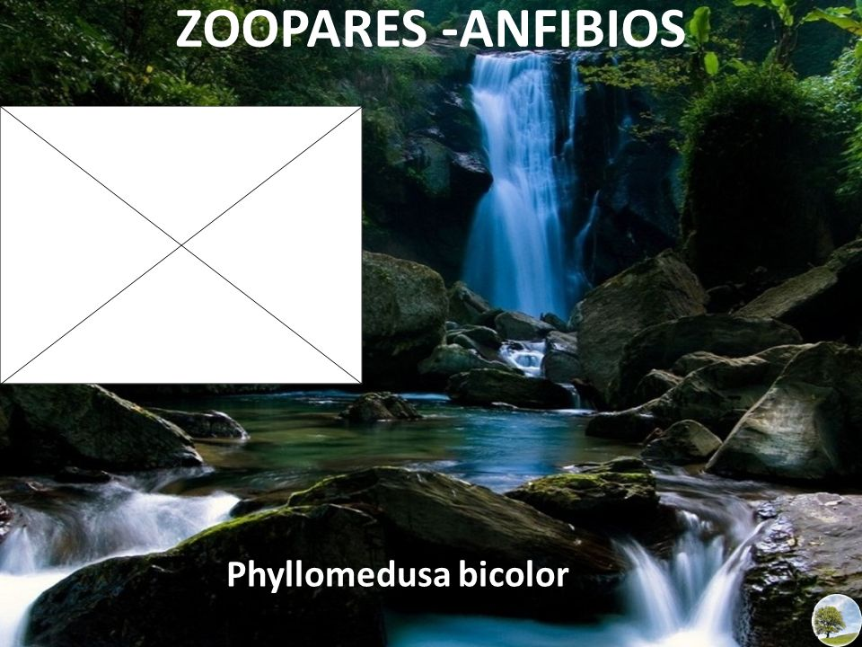 ZOOPARES -ANFIBIOS Phyllomedusa bicolor