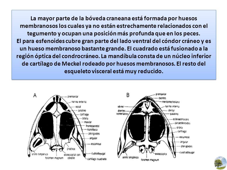 La mayor parte de la bóveda craneana está formada por huesos membranosos los cuales ya no están estrechamente relacionados con el tegumento y ocupan una posición más profunda que en los peces.