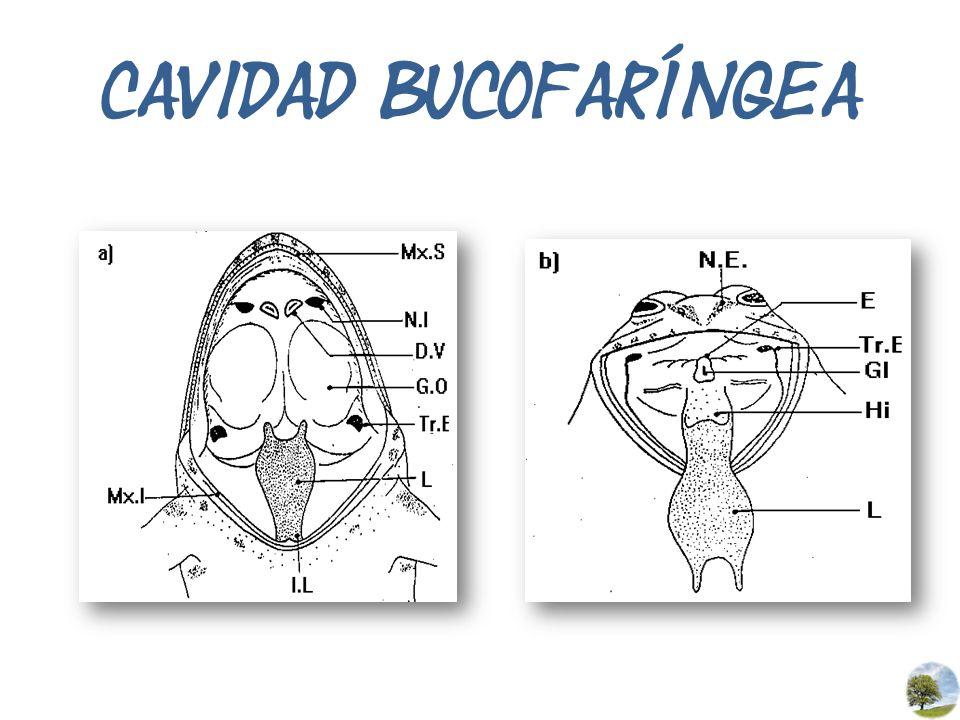 CAVIDAD BUCOFARÍNGEA
