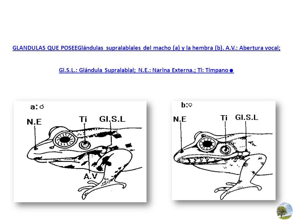 GLANDULAS QUE POSEEGlándulas supralabiales del macho (a) y la hembra (b).