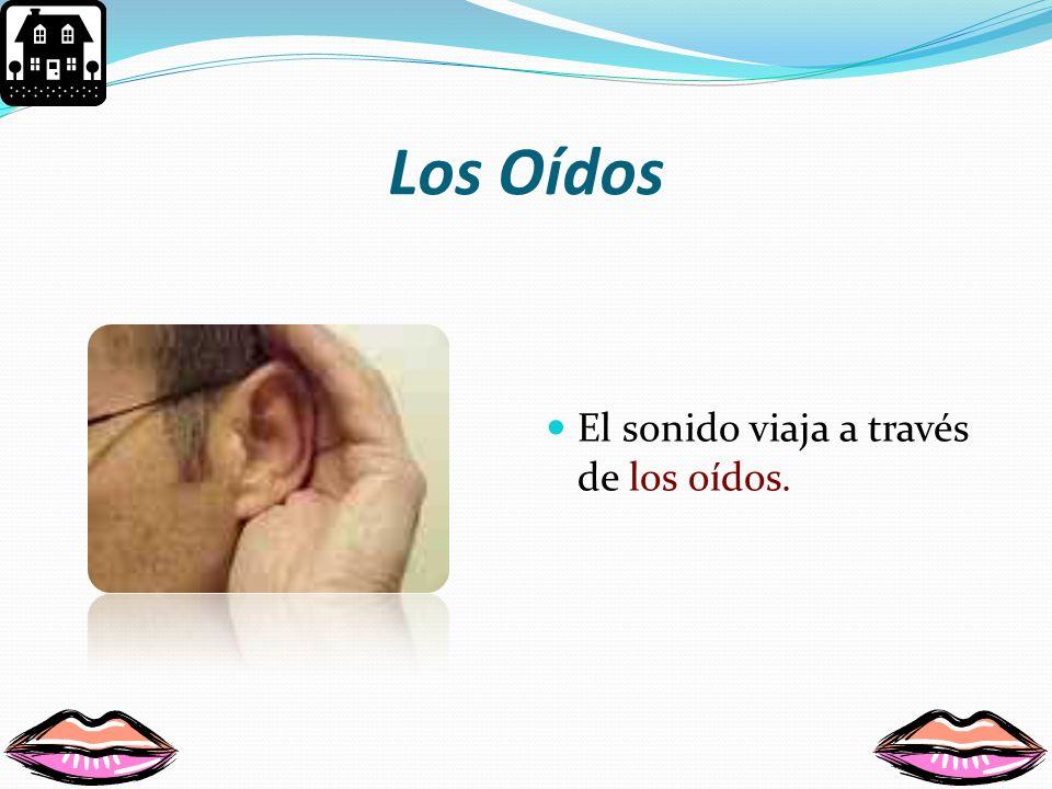 Los Oídos El sonido viaja a través de los oídos.