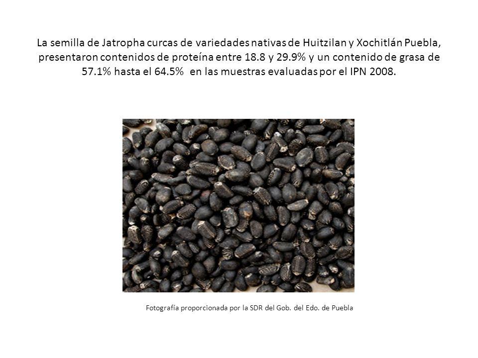 La semilla de Jatropha curcas de variedades nativas de Huitzilan y Xochitlán Puebla, presentaron contenidos de proteína entre 18.8 y 29.9% y un contenido de grasa de 57.1% hasta el 64.5% en las muestras evaluadas por el IPN 2008.