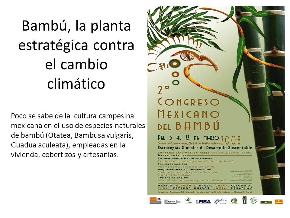 Bambú, la planta estratégica contra el cambio climático