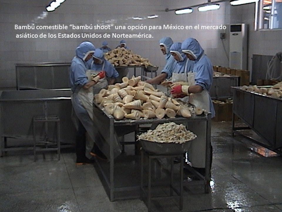 Bambú comestible bambú shoot una opción para México en el mercado
