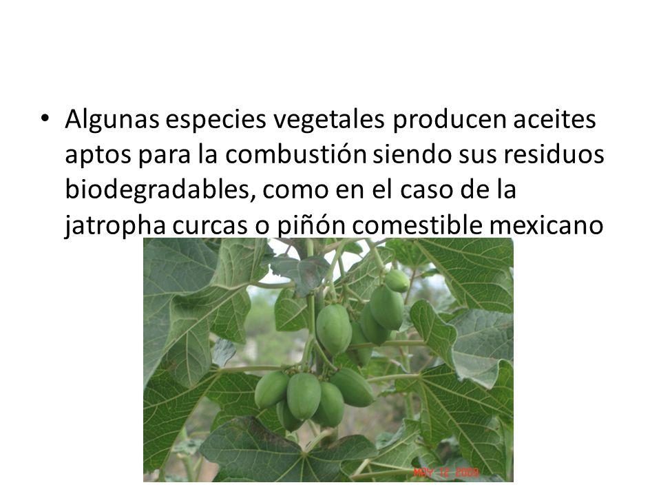 Algunas especies vegetales producen aceites aptos para la combustión siendo sus residuos biodegradables, como en el caso de la jatropha curcas o piñón comestible mexicano