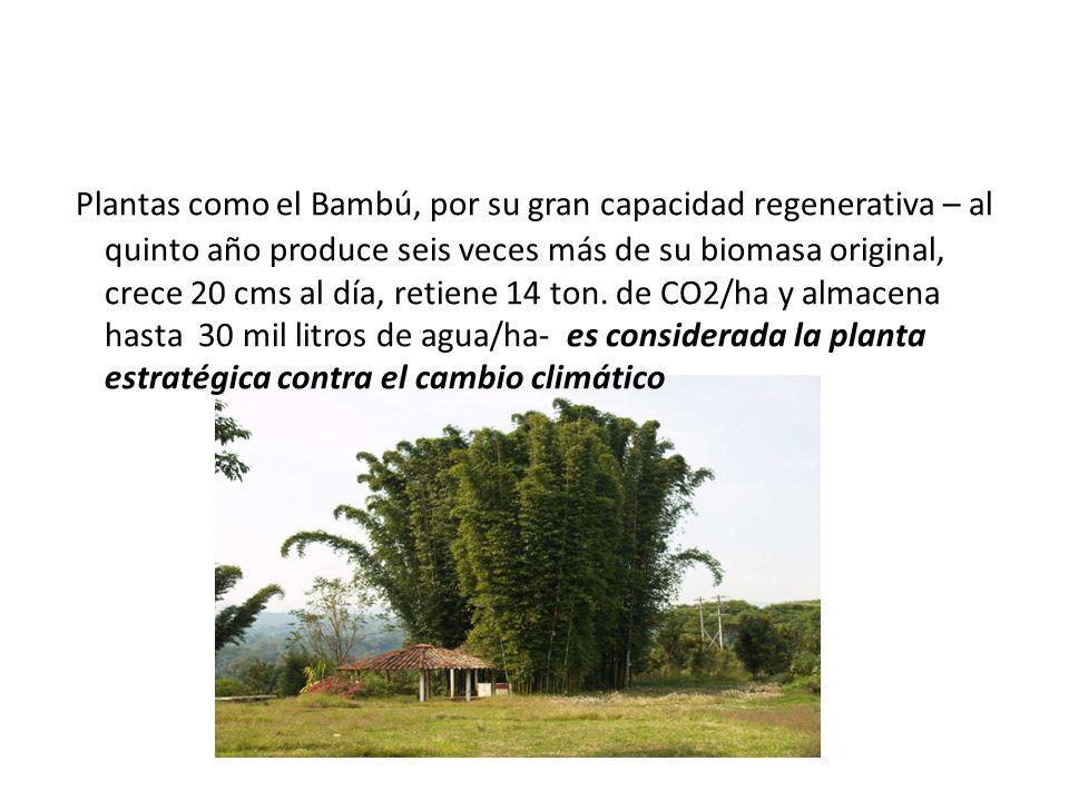 Plantas como el Bambú, por su gran capacidad regenerativa – al quinto año produce seis veces más de su biomasa original, crece 20 cms al día, retiene 14 ton.