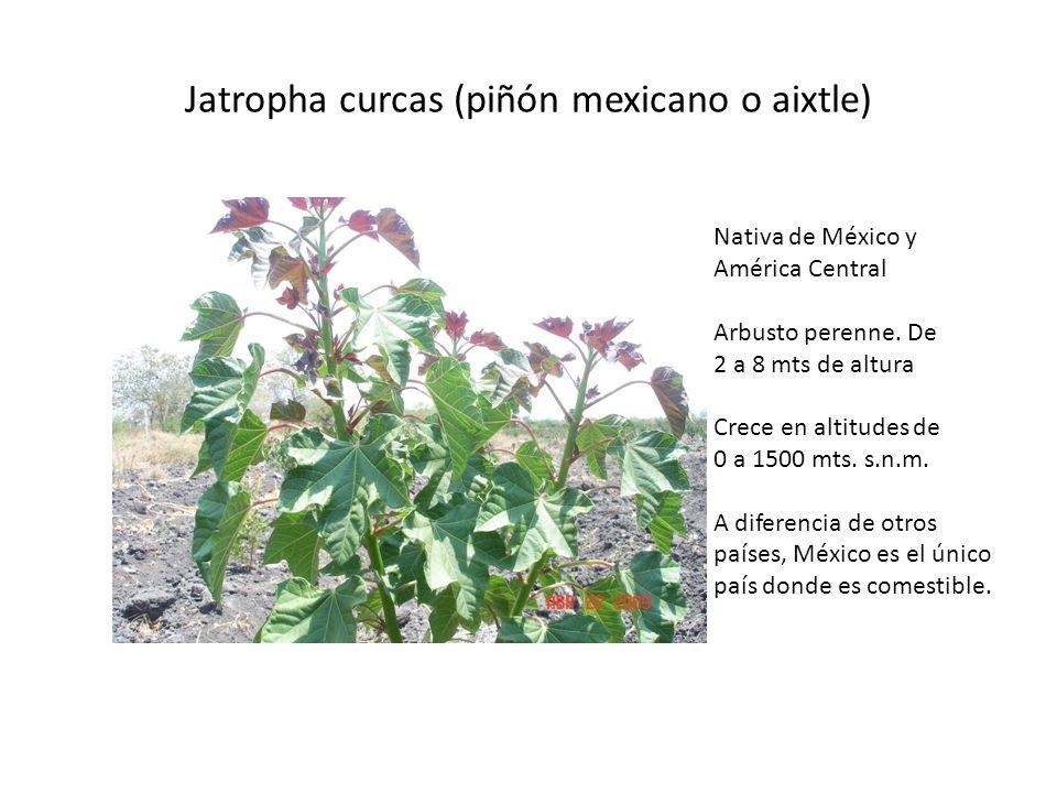 Jatropha curcas (piñón mexicano o aixtle)