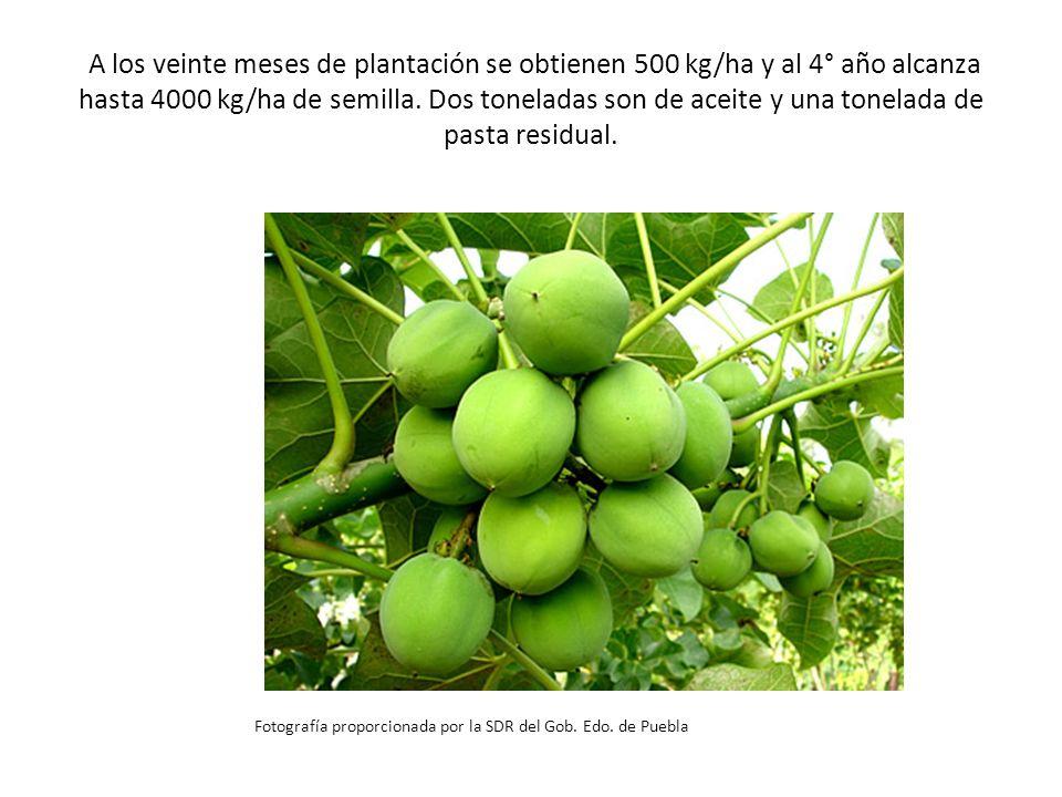 A los veinte meses de plantación se obtienen 500 kg/ha y al 4° año alcanza hasta 4000 kg/ha de semilla. Dos toneladas son de aceite y una tonelada de pasta residual.