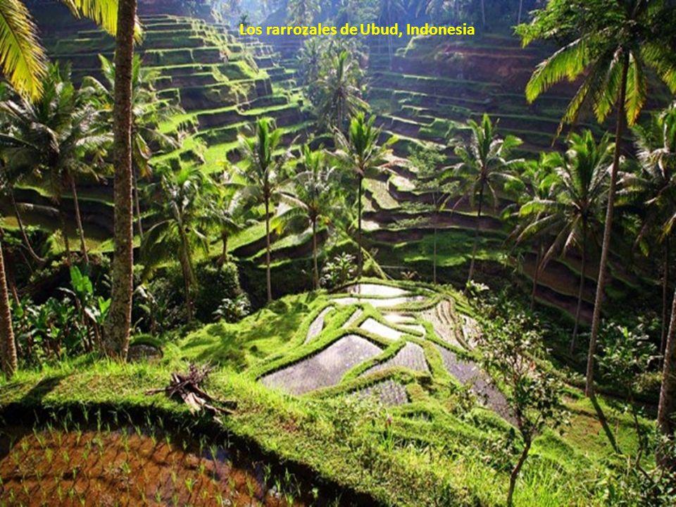 Los rarrozales de Ubud, Indonesia