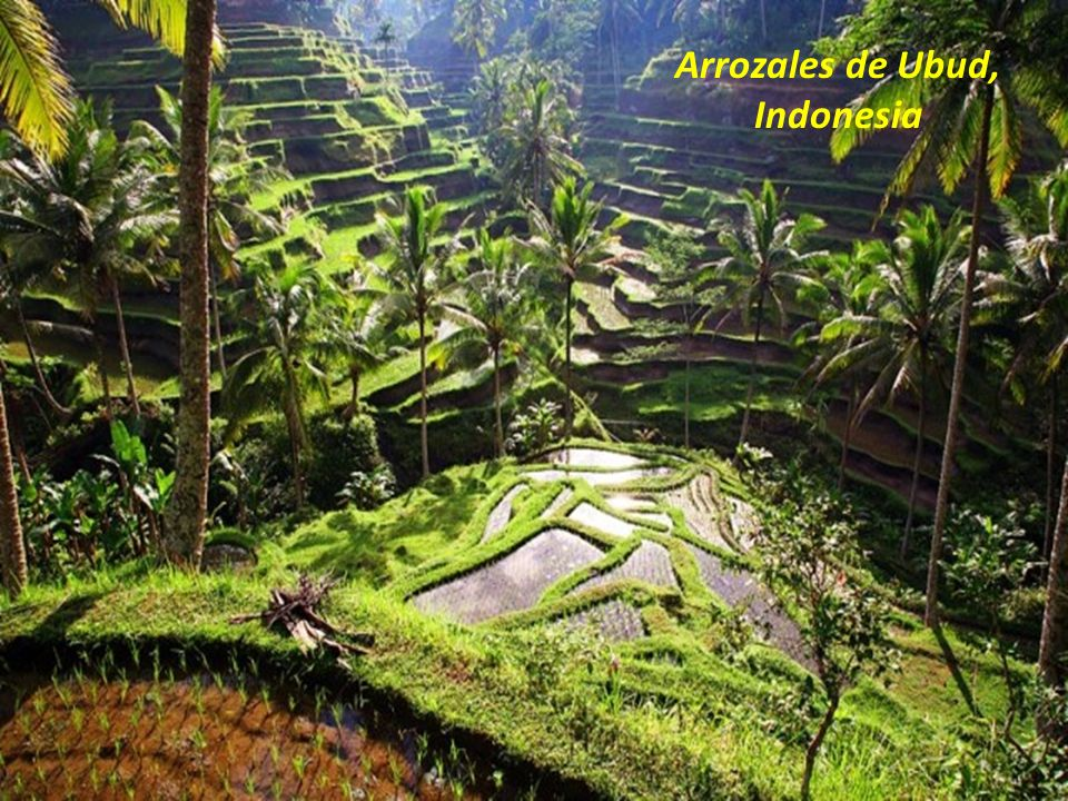 Arrozales de Ubud, Indonesia