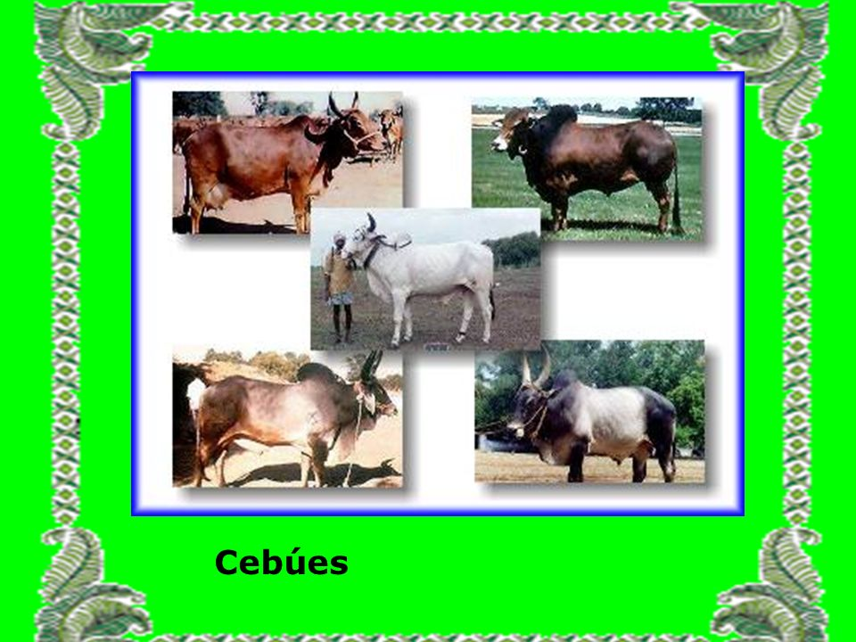 Cebúes