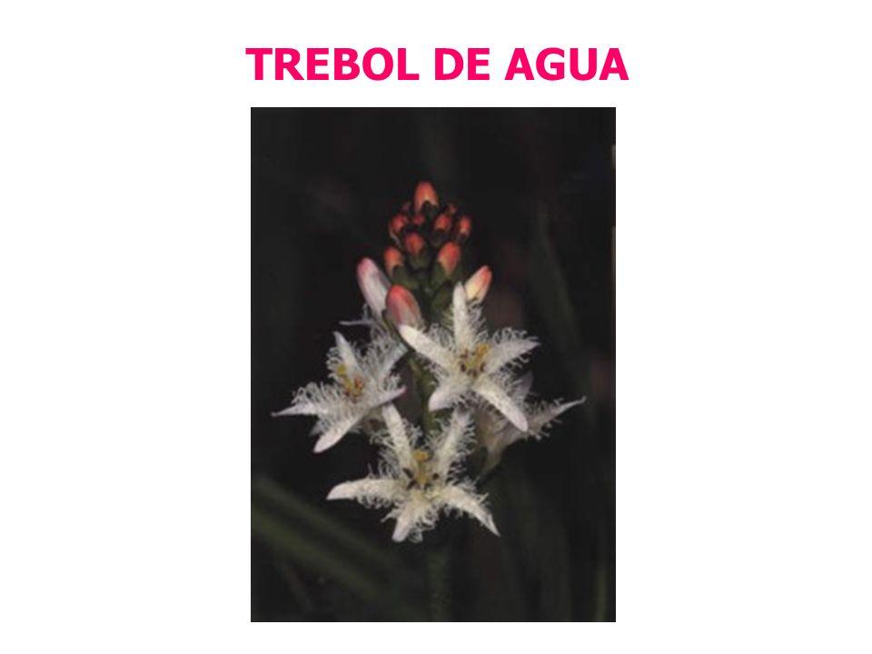 TREBOL DE AGUA