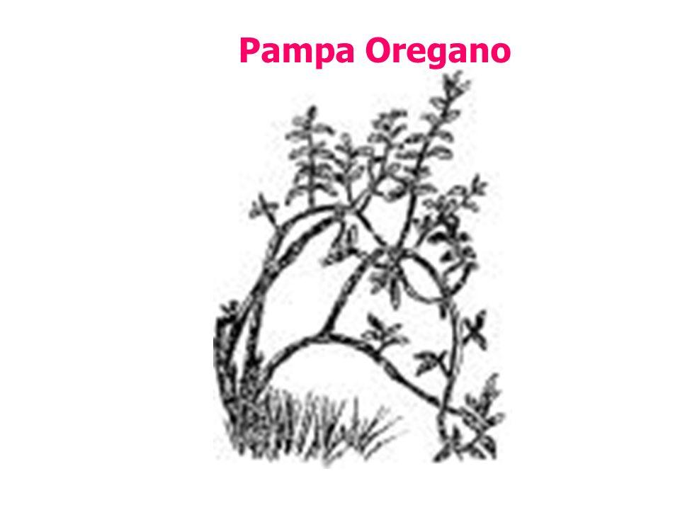 Pampa Oregano