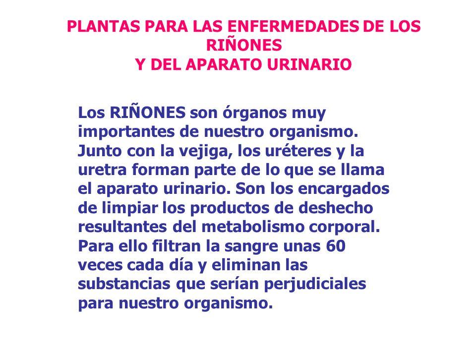 PLANTAS PARA LAS ENFERMEDADES DE LOS RIÑONES