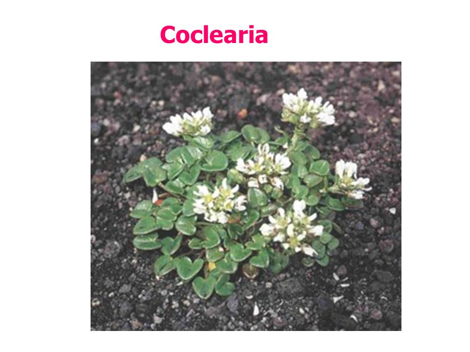 Coclearia