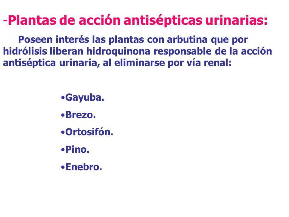 Plantas de acción antisépticas urinarias: