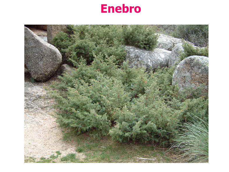 Enebro