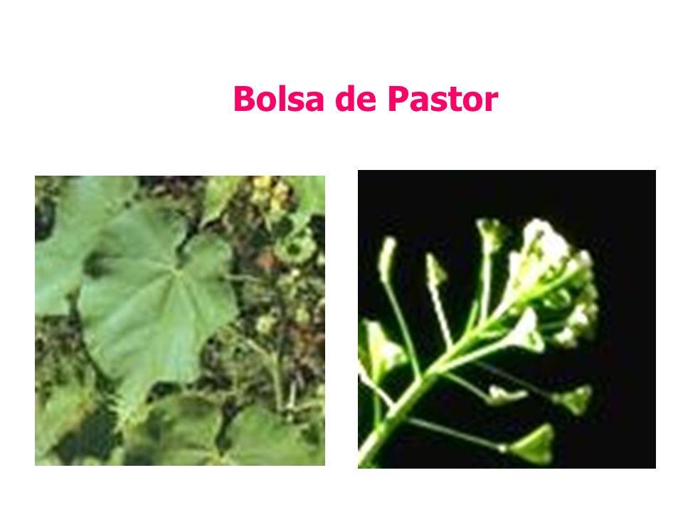 Bolsa de Pastor
