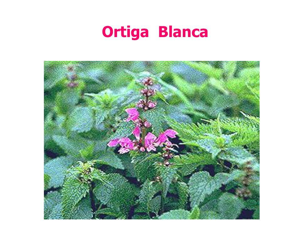 Ortiga Blanca
