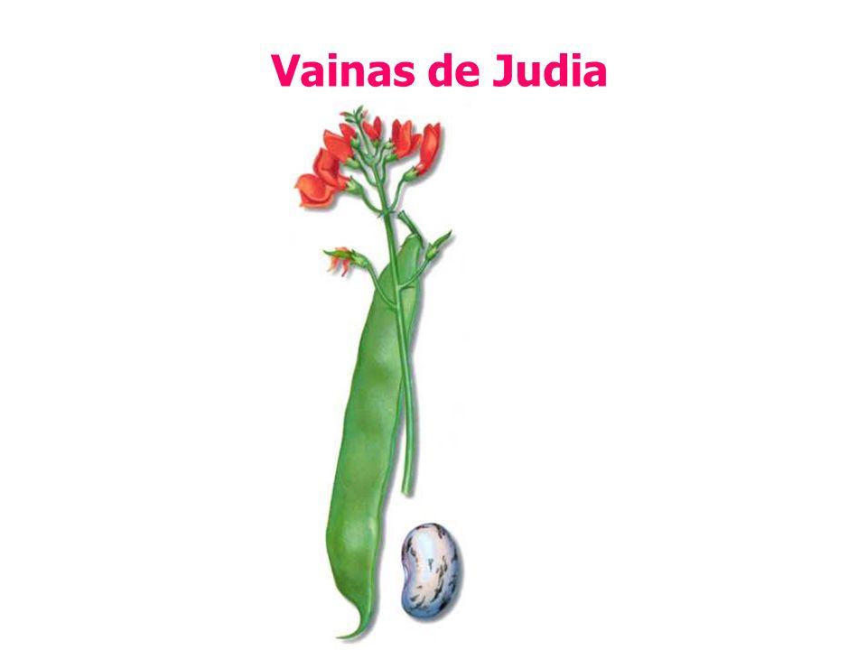Vainas de Judia