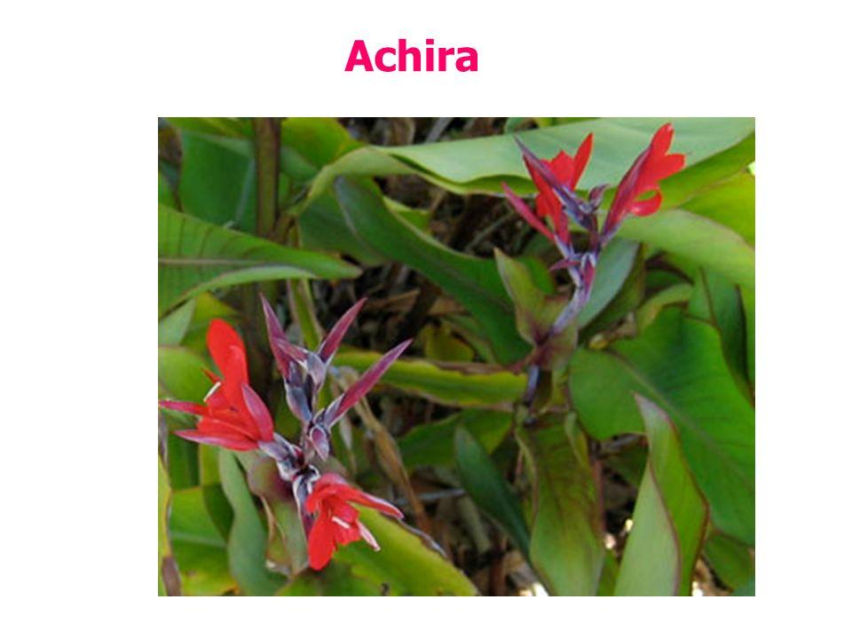 Achira