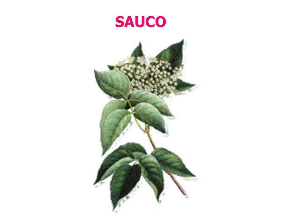 SAUCO