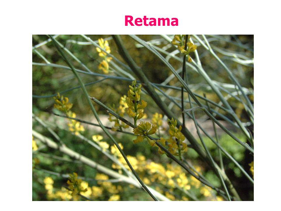 Retama