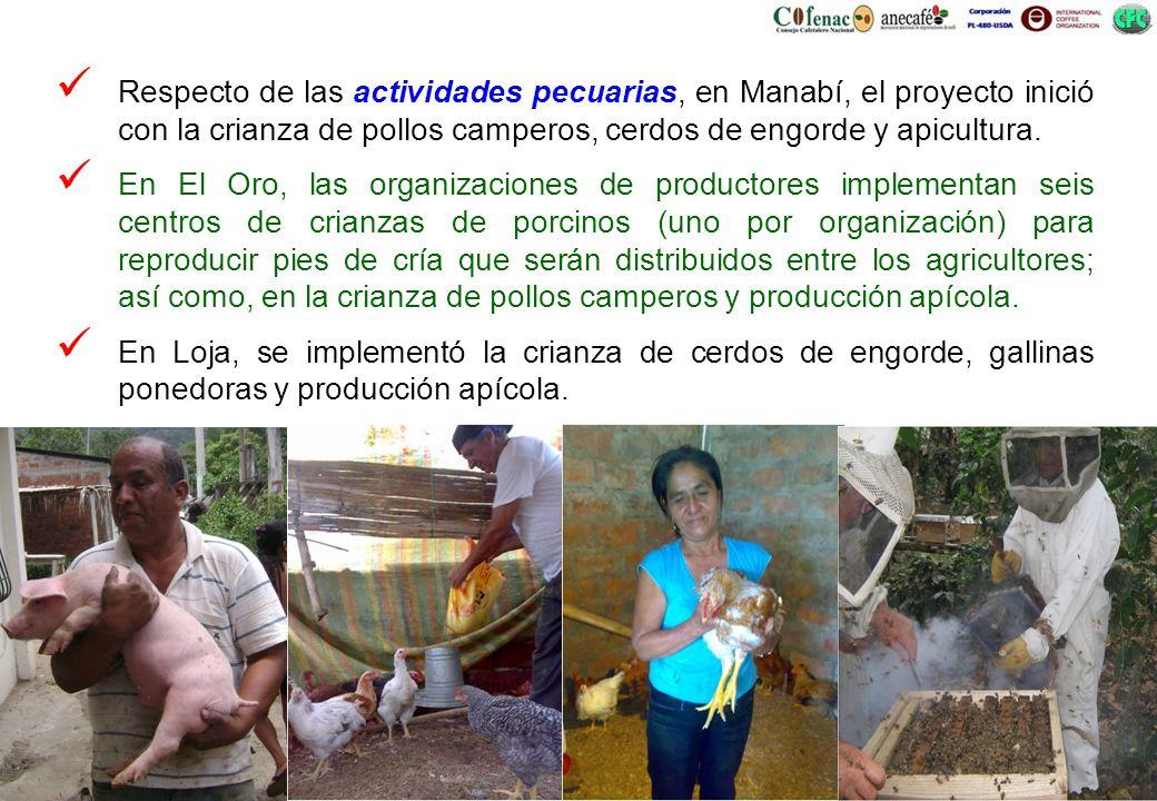 Respecto de las actividades pecuarias, en Manabí, el proyecto inició con la crianza de pollos camperos, cerdos de engorde y apicultura.