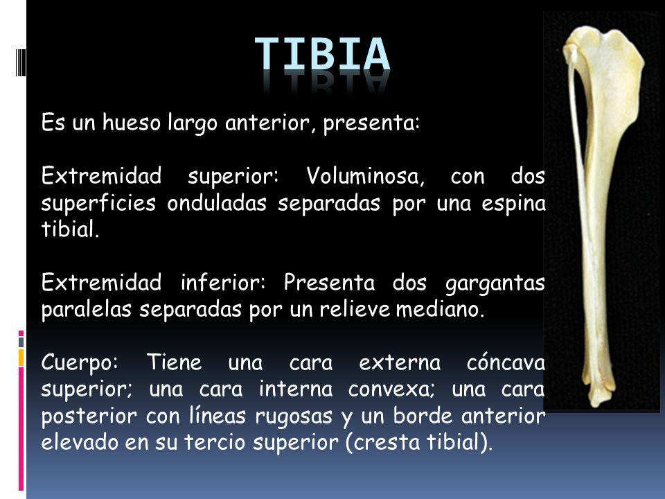 Magnífico Tibia Y El Peroné Huesos De La Anatomía Foto - Anatomía de ...