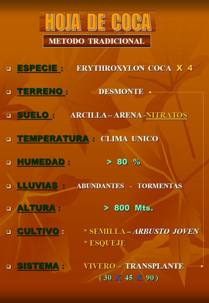 HOJA DE COCA ESPECIE : ERYTHROXYLON COCA X 4 TERRENO : DESMONTE