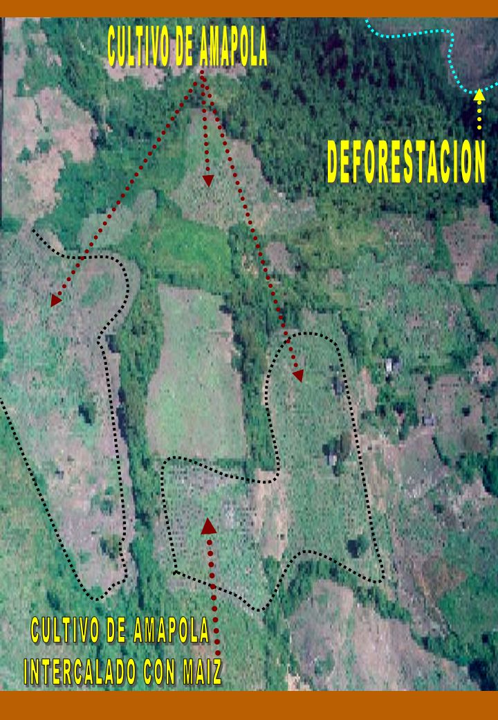 CULTIVO DE AMAPOLA DEFORESTACION CULTIVO DE AMAPOLA