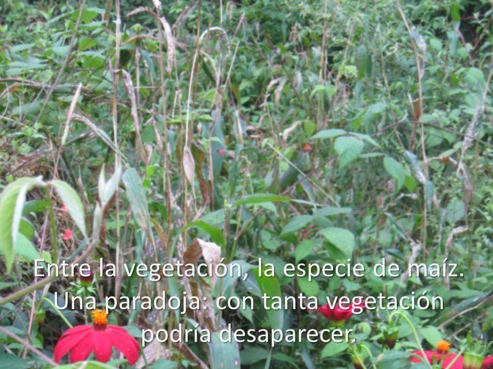 Entre la vegetación, la especie de maíz