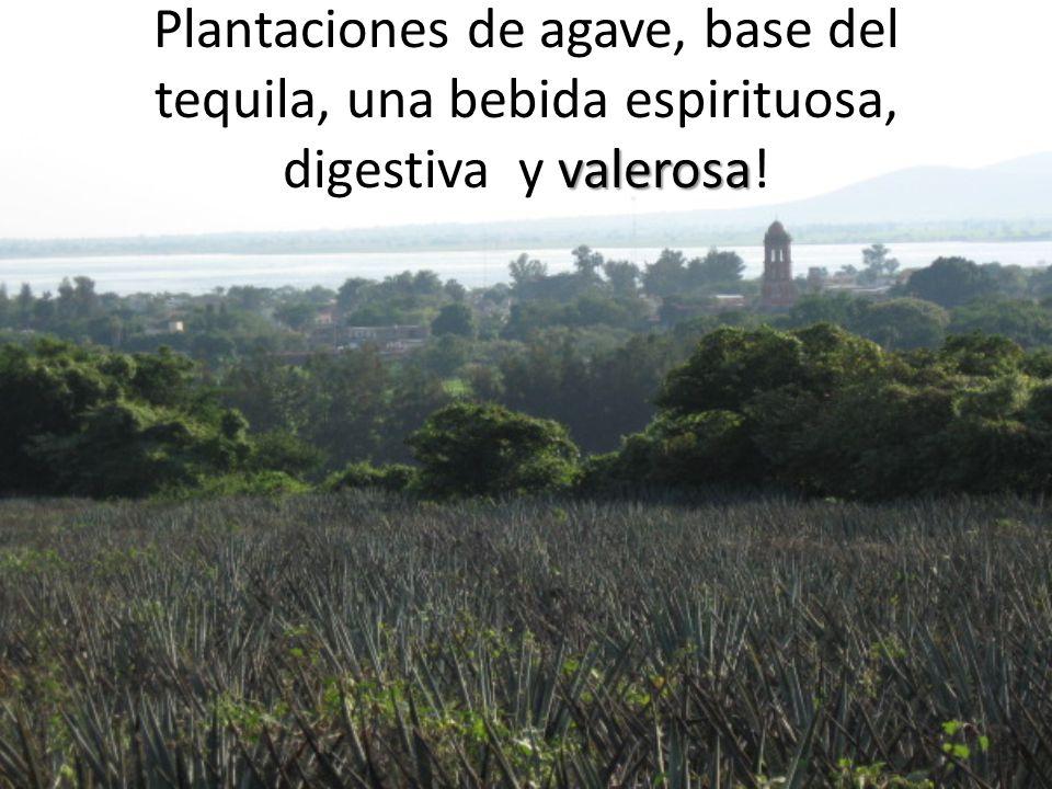 Plantaciones de agave, base del tequila, una bebida espirituosa, digestiva y valerosa!