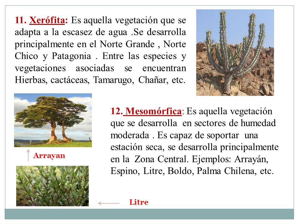 11. Xerófita: Es aquella vegetación que se adapta a la escasez de agua
