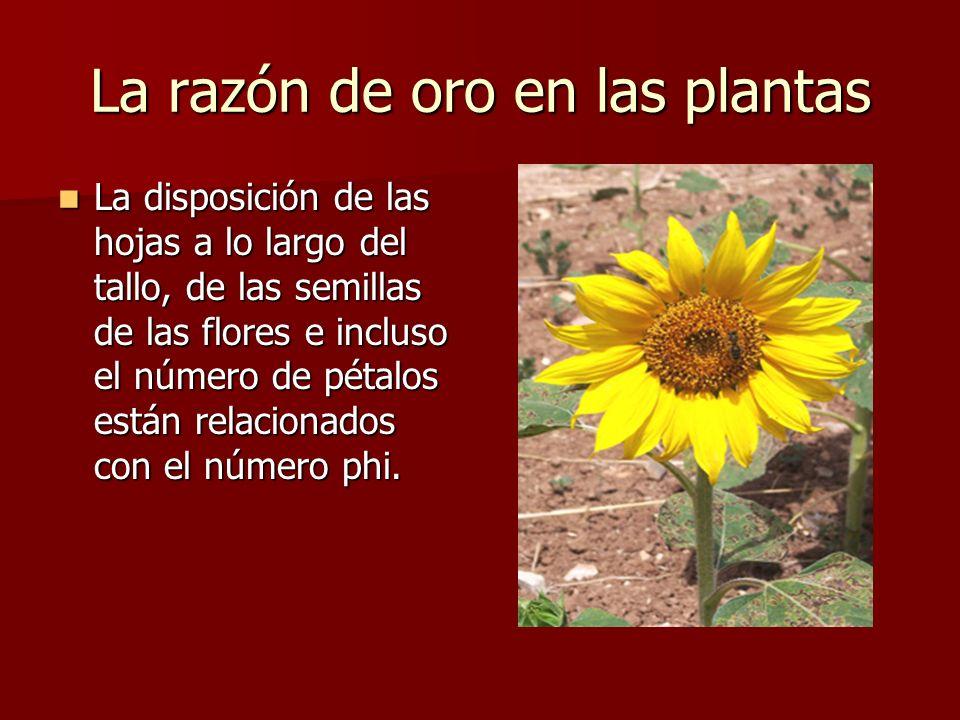 La razón de oro en las plantas
