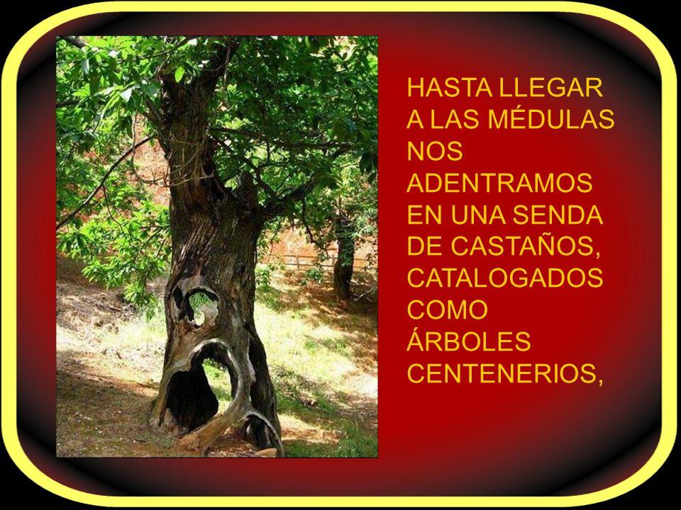 HASTA LLEGAR A LAS MÉDULAS NOS ADENTRAMOS EN UNA SENDA DE CASTAÑOS, CATALOGADOS COMO ÁRBOLES CENTENERIOS,