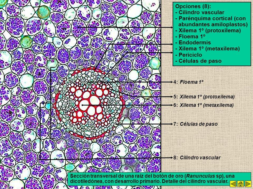 - Parénquima cortical (con abundantes amiloplastos)